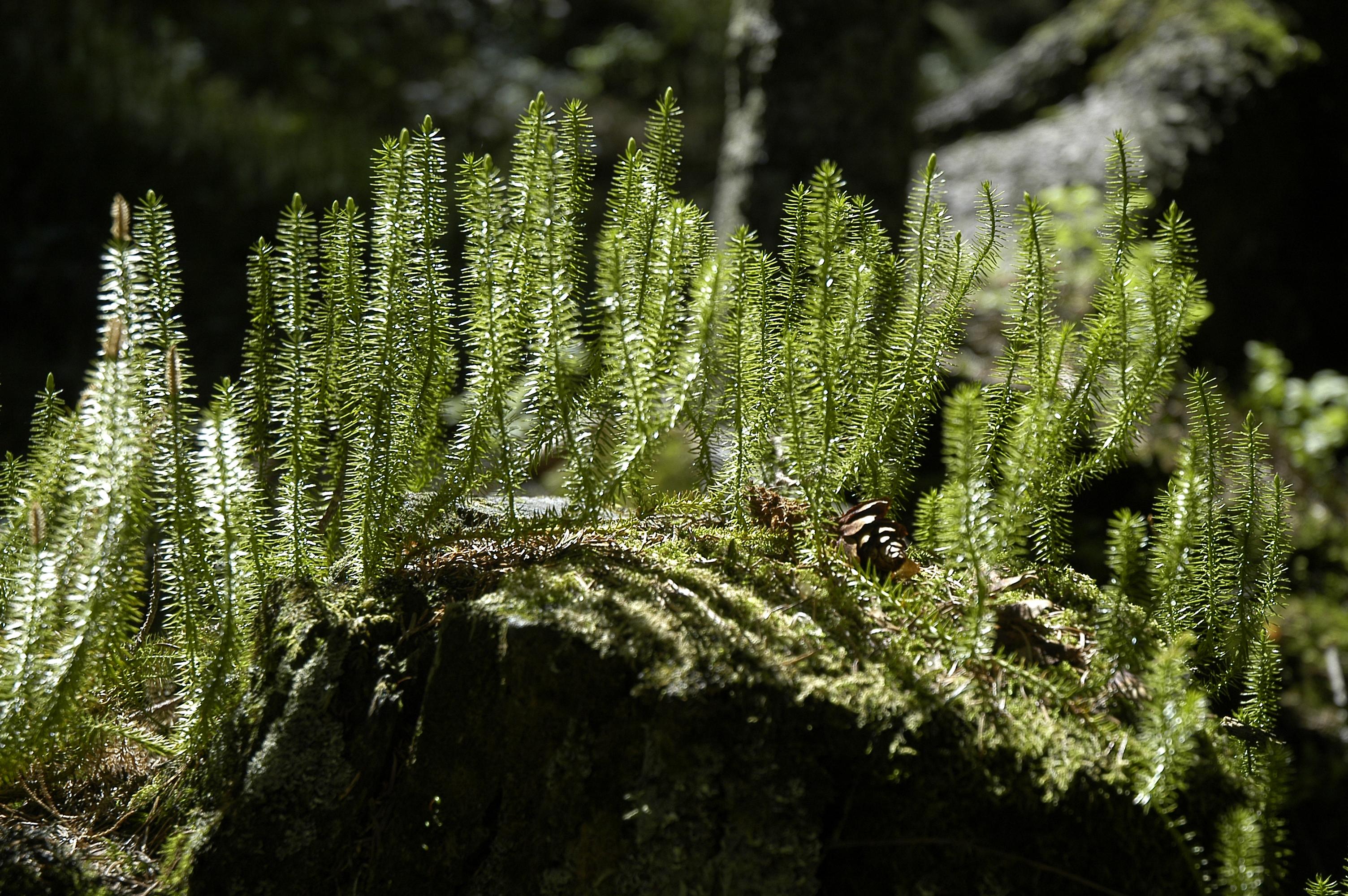 lycopodium annotium habitus seewald2_w