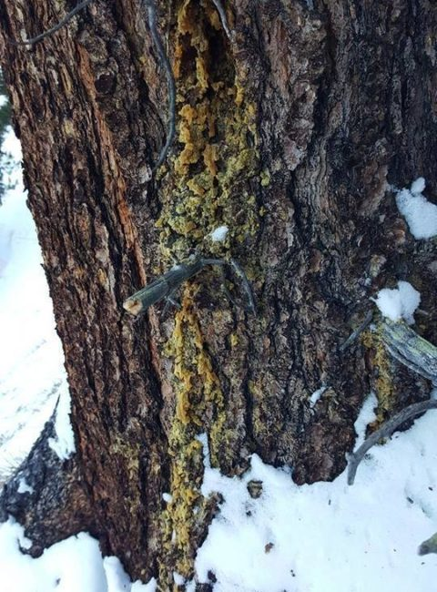 Heimische Harze sammeln - Räuchern - Pechsalbe