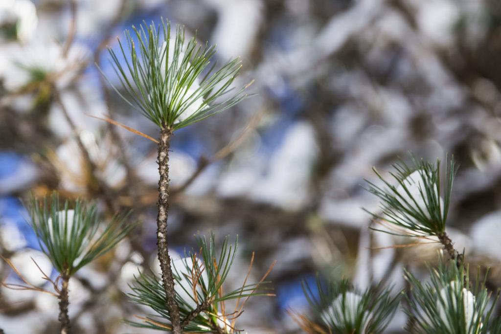Zirbe, Pinus cembra