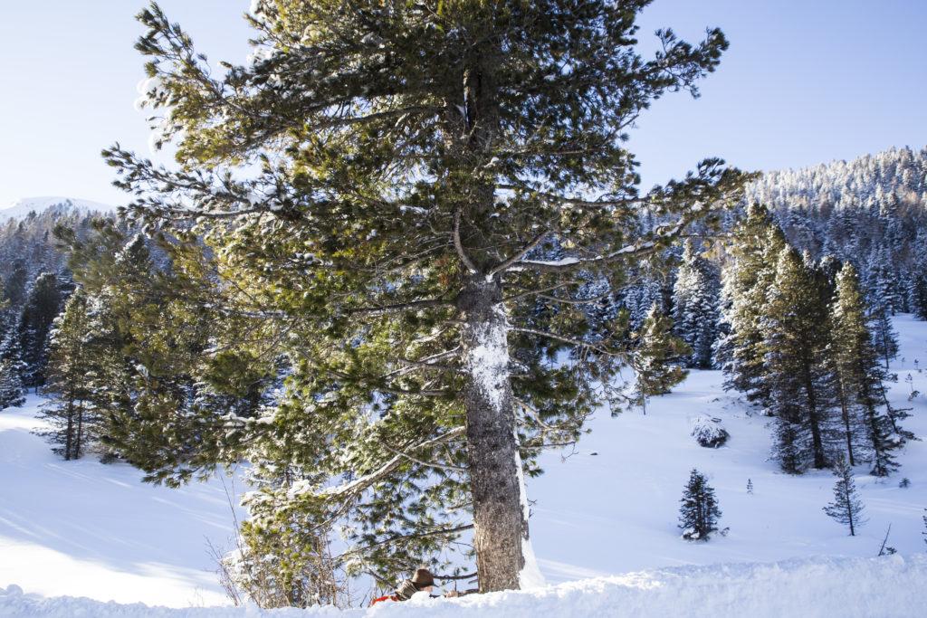 irbe, Baumwesen, Pinus cembra, Heimische Harze, Räuchern, Pechsalbe, Alpenweihrauch