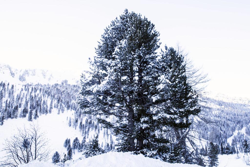 Zirbe, Baumwesen, Pinus cembra, Heimische Harze, Räuchern, Pechsalbe, Alpenweihrauch