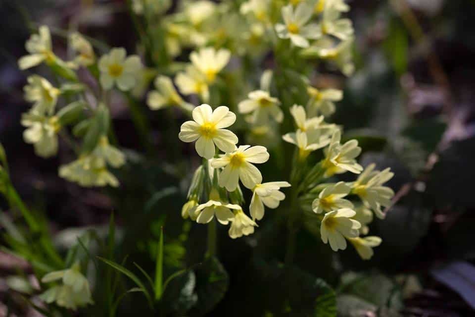 Hohe Schlüsselblume (Primula elatior), Waldschlüsselblume