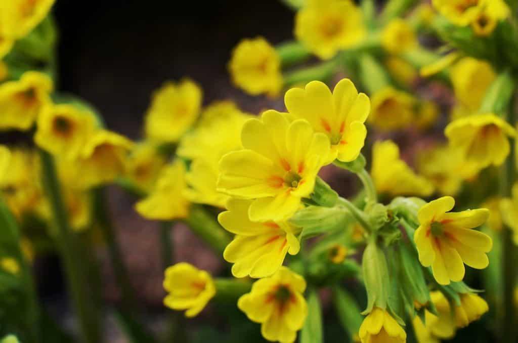 Echte Schlüsselblume (Primula veris), Frühlingsschlüsselblume