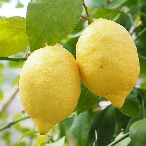 Zitrone - ätherisches Öl