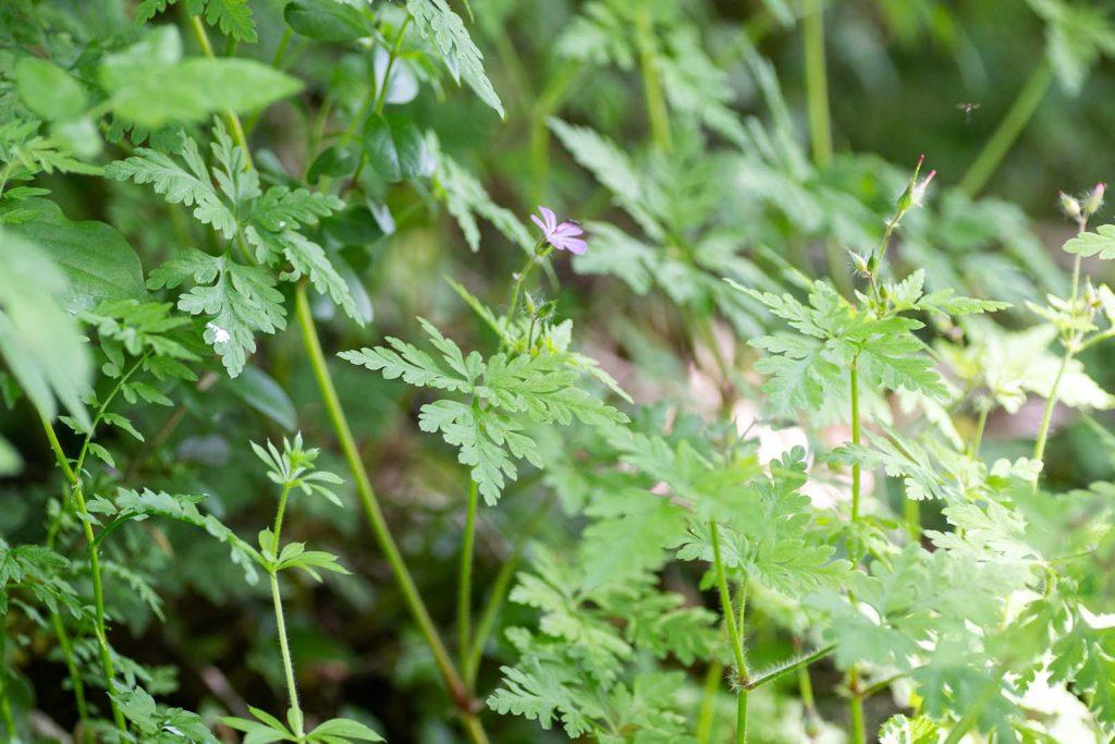 Stinkender Storchschnabel (Geranium robertianum)