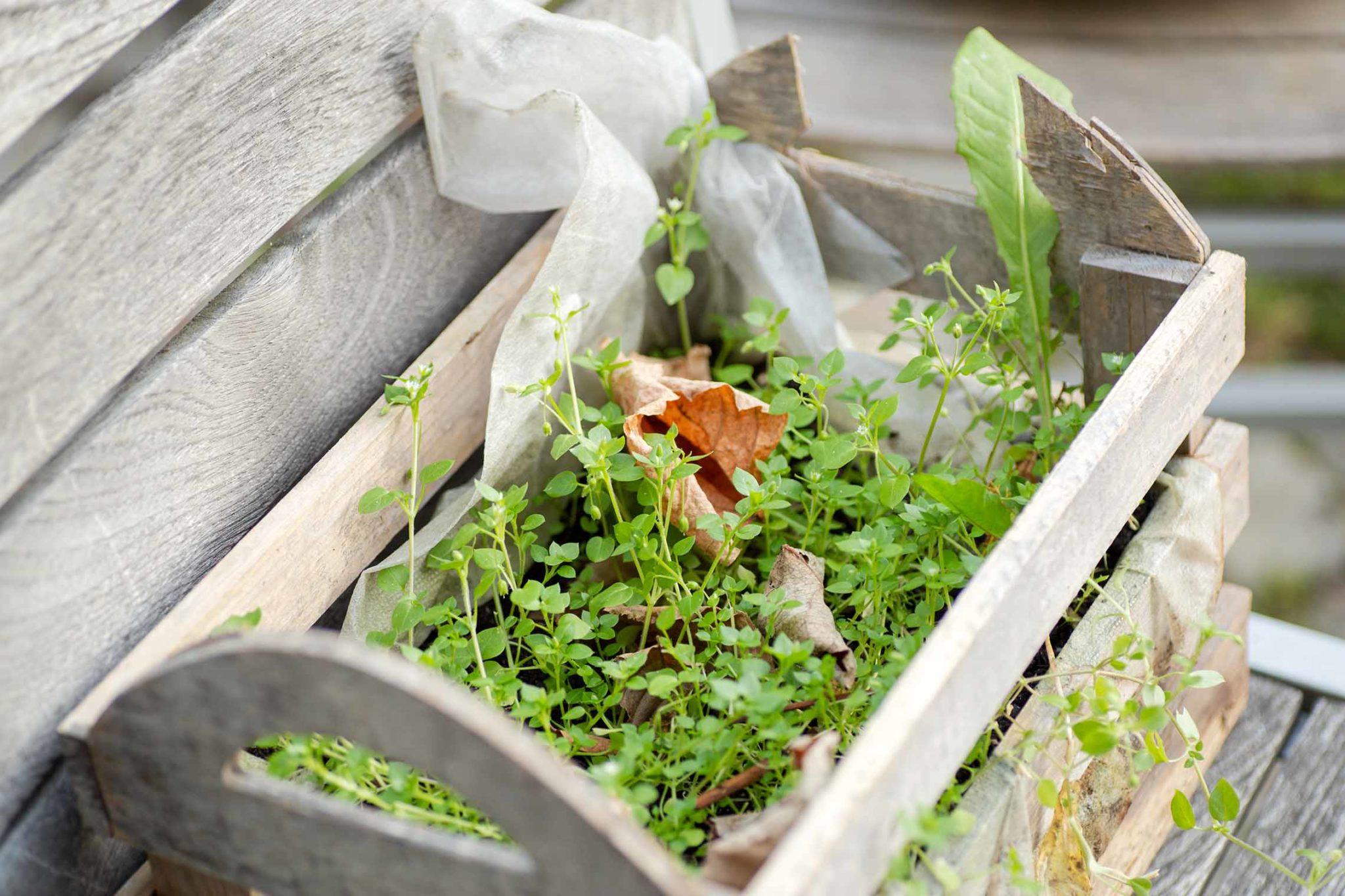 Vogelmiere wächst gerne in Balkonkästen...