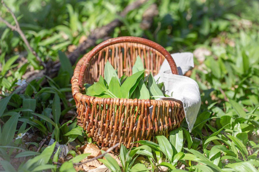 Bärlauch (Allium ursinum) im Korb