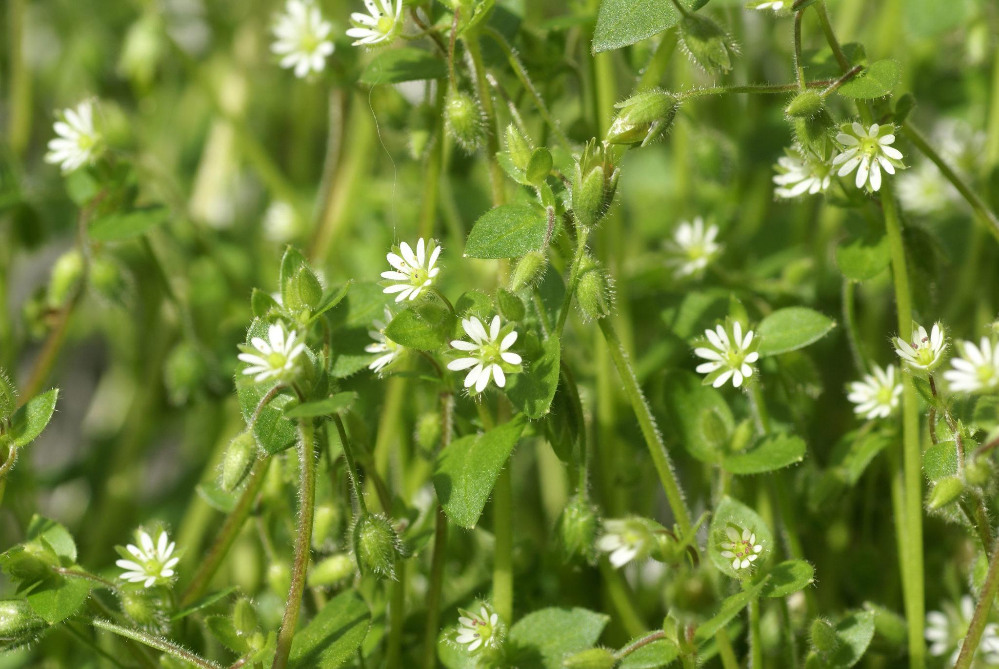 Eiförmig, spitz zulaufendes Blatt, weiße, sternförmige Blüte