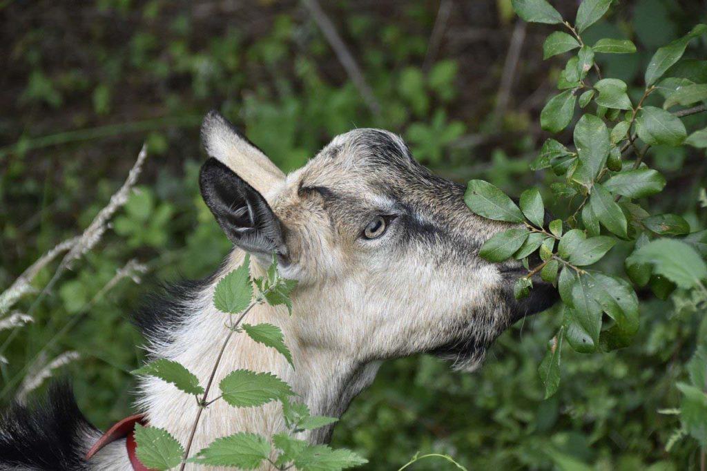 Ziege = Laubfresser