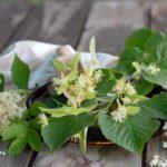 Linde (Tilia sp.), Holunder (Sambucus nigra), Mädesüß (Filipendula ulmaria)