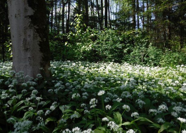 Baerlauch-Wald-3