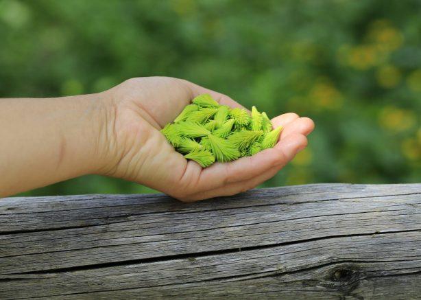 Geöffnete Hand, in der junge, maigrüne Fichtenwipfel liegen